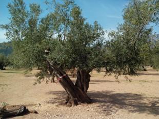 28 de març. Taller d'esporga d'olivera a Bítem